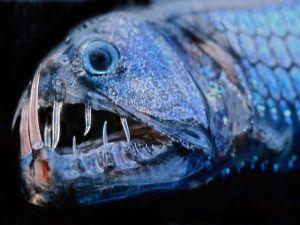 deep-sea09-viper-fish_18169_600x450